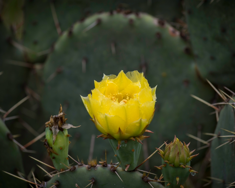Yellow Bloom on a Prickly Pear Cactus